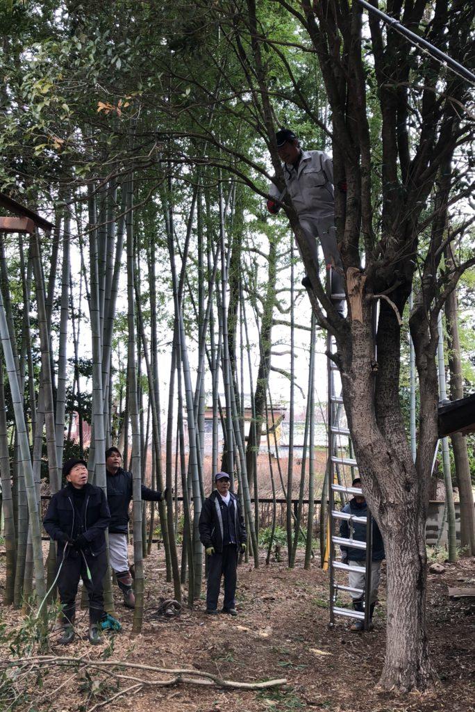 大木の伐採01