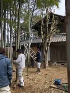 大木の伐採02